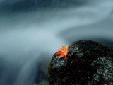 A Maple Leaf on a Rock Beside Stream, Okutama, Tokyo Photographic Print