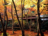 Maple Trees at Giou-Ji Temple in Autumn, Kyoto, Japan Photographic Print