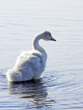 Young Swan Photographic Print