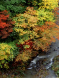 Stream and Maple Trees Photographic Print