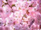 Kwiaty wiśni Reprodukcja zdjęcia