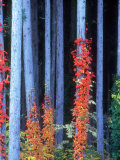Red Ivies on Tree Trunks Photographic Print