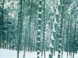 Bamboo Forest in Snow, Nishiyama, Kyoto, Japan Photographic Print