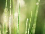 Morning Dew on Grass Leaves Fotografisk tryk