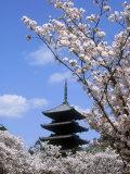 Pagoda of Ninnaji Temple and Cherry Blossoms Fotografie-Druck