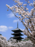 Pagoda of Ninnaji Temple and Cherry Blossoms Photographic Print