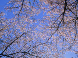 Cherry Blossoms and Blue Sky Photographic Print