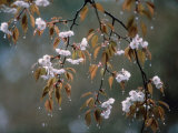 Cherry Blossoms in the Rain Photographic Print