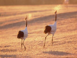A Pair of Cranes, Tsurui Village, Hokkaido, Japan Photographic Print