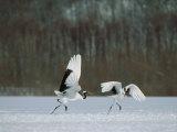 Cranes Photographic Print