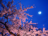 Cherry Blossoms and Full Moon Papier Photo