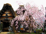 Old Farm House and Cherry Blossoms Photographic Print