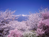 Cherry Blossoms and Mountains Photographic Print
