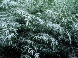 The First Snow Covers Bamboo, Nikko, Tochigi, Japan Photographic Print