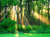 Sunbeams Through the Trees Photographic Print