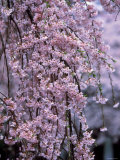 Weeping Cherry Tree Photographic Print