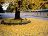 Ginko Leaves at Old Imperial Palace Photographic Print