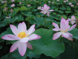 Lotus Flowers Photographic Print
