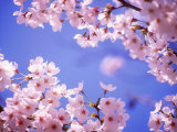 Cherry Blossoms and Blue Sky - Fotografik Baskı
