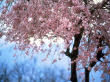 Weeping Cherry Tree Photographie