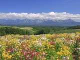 Columbines and Mt. Tokachi Range Fotoprint