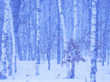 White Birch in Snow Photographic Print