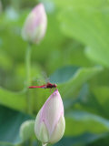 Dragonfly on a Lotus Bud Photographic Print