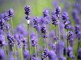 Lavendel Fotografie-Druck