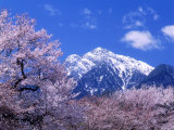 Cherry Blossoms and Mt. Kaikoma Photographic Print
