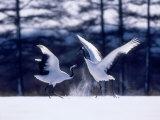A Pair of Cranes Dancing, Tsurui Village, Hokkaido, Japan Photographic Print