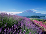 Mt. Fuji and a Lavender Bush Photographic Print