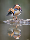 Mandarin Duck Photographic Print