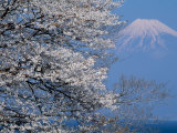 Cherry Blossoms and Mt. Fuji Photographic Print