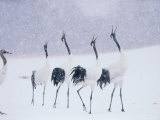 Cranes in the Tsurui Bird Sanctuary, Hokkaido, Japan Photographic Print