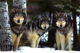 Lupi e coyote Poster