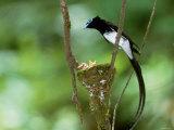 Black Paradise Flycatcher Photographic Print