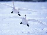 A Pair of Whooper Swans, Hokkaido, Japan Photographic Print