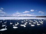 Whooper Swans, Lake Kussharo, Hokkaido, Japan Photographic Print