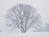 Beech Tree Photographic Print