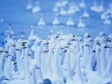 Whooper Swans, Hokkaido, Japan Photographic Print