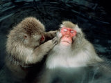 Japanese Monkies in Spa Photographic Print
