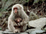 Japanese Monkey and Her Baby Photographic Print