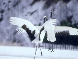 A Pair of Cranes, Hokkaido, Japan Photographic Print