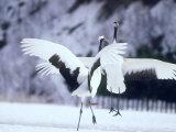 A Pair of Cranes, Hokkaido, Japan Photographic Print