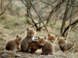 Fox Cubs Photographic Print
