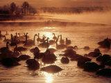 Whooper Swans, Tokachi River, Hokkaido, Japan Photographic Print
