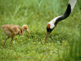Red-Crowned Cranes Photographic Print