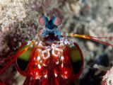 Mantis Shrimp Photographic Print