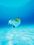 Threadfin Brtterflyfish Fotografisk tryk