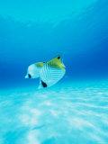 Threadfin Brtterflyfish Photographic Print